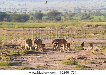 Lions family. Savannah with animals. Amboseli, Kenya