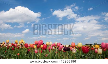 Bright Tulip Field In Vivid Colors