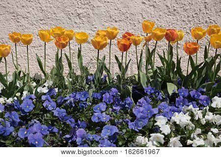 Tulips And Violas In Front Of A Stone Wall