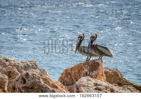Couple Of Pelican On A Rock In The Caribbean