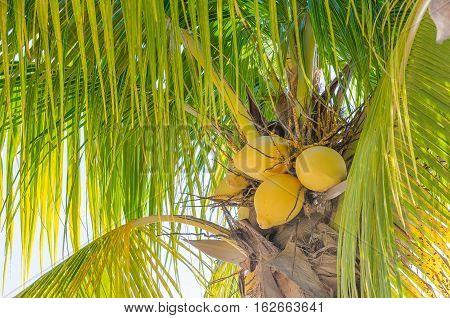 Coconut Palm Tree At The Mambo Beach