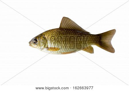 The gold crucian is isolated on a white background