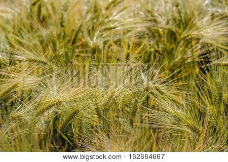 Closeup of ripening littlespelt ears toppled by the wind. It is summertime in the Netherlands.