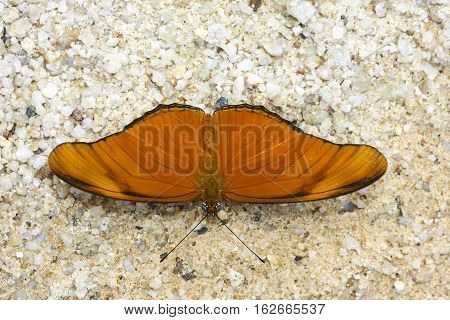 Julia butterfly Julia heliconian the flame or flambeau a species of brush-footed butterfly