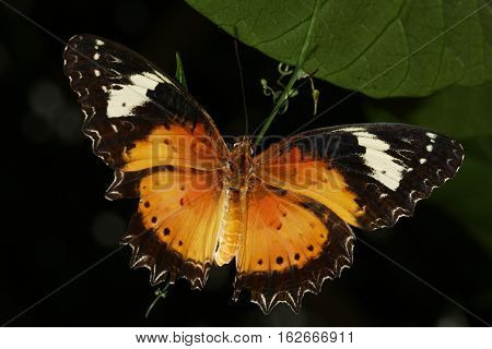 Malay lacewing Cethosia cyane butterfly of the Nymphalidae family