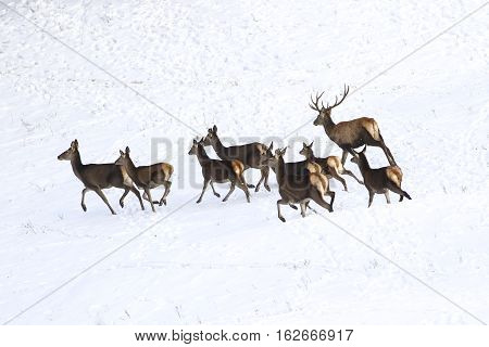 Running drove of red deer in snow