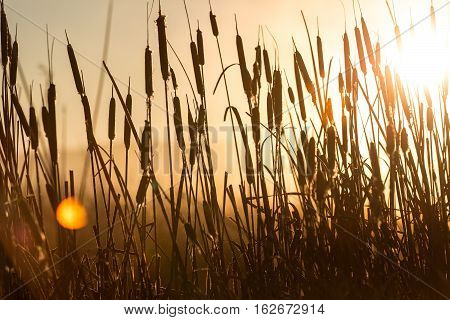 Cattail reeds in a swamp with early morning sun behind them