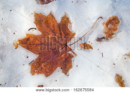 Yellow fallen maple and oak leaves lying down on melting snow background, spring landscape