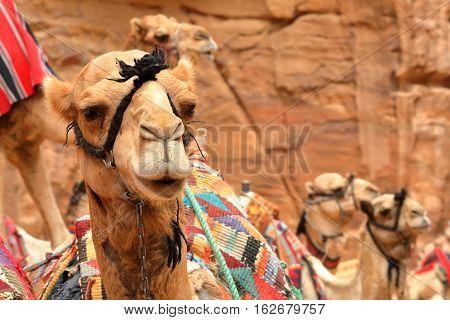 PETRA, JORDAN: Portrait of camels with beautiful colors