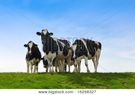 Cows On On Farmland