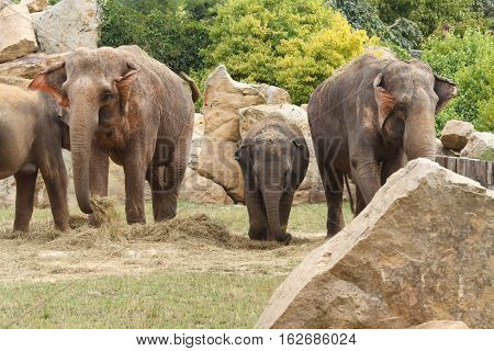 Family Of Indian Elephants At The Prague Zoo