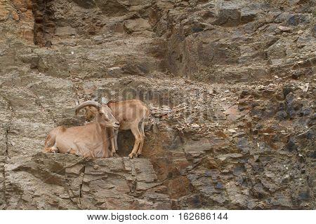 Male And Female Caucasian Tur Wild In Their Natural Habitat