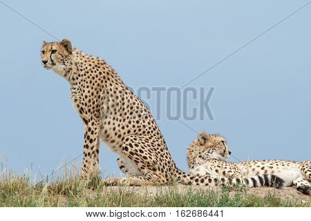 Two Cheetahs On The Hill In The Savannah