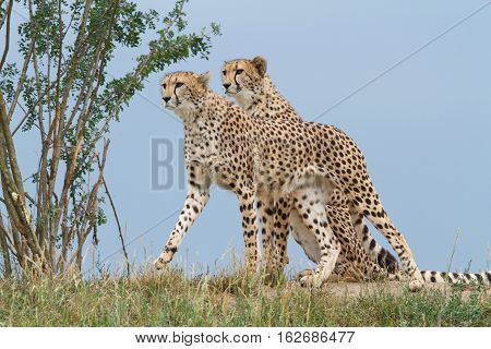 Two Wild Cheetah On A Background Of Blue Sky Closeup
