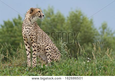 Wild African Cheetah Portrait, Beautiful Mammal Animal