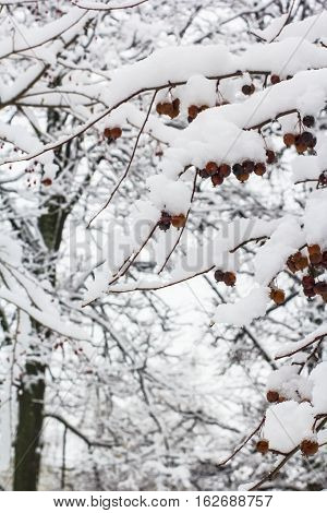background winter landscape red berries on a tree sprinkled with white snow