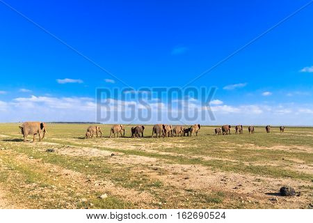 Elephants go away. Savanna of Amboseli, Kenya