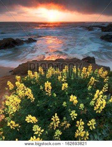 Lupine Bush In The Beach