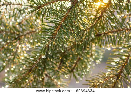 Fir branches covered with water drops under morning sun beams, wallpaper