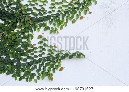 The White Wall with The Ivy. Green creeper on cement wall background