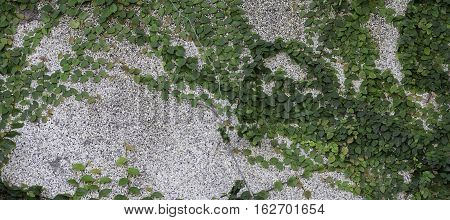 Abstract Green creeper on cement wall background