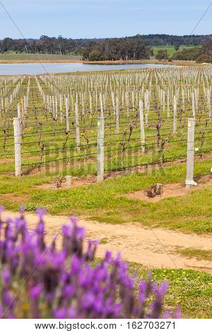 Vineyards in the Margaret River area of Western Australia.