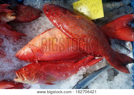 Blacktip Grouper Or Red Banded Grouper