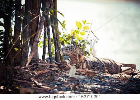 Water monitor : Varanus salvator Animal in Asia.