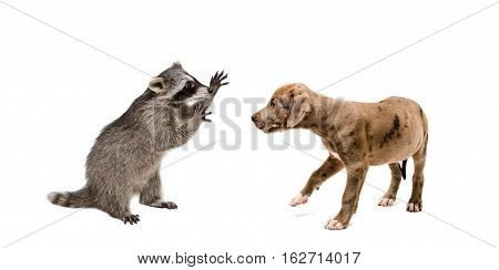 Playful raccoon and a curious pit bull puppy isolated on white background