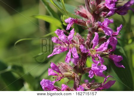 Inflorescence of a Lythrum salicaria (purple loosestrife) plant.
