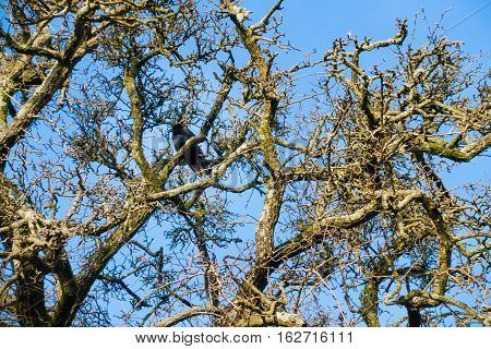 Crown of a beautiful leafless tree in winter against a blue sky with a crow sitting on one of the branches.