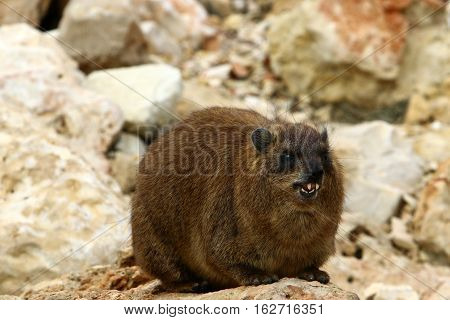 hyrax lying on a hot stone and basks in the sun