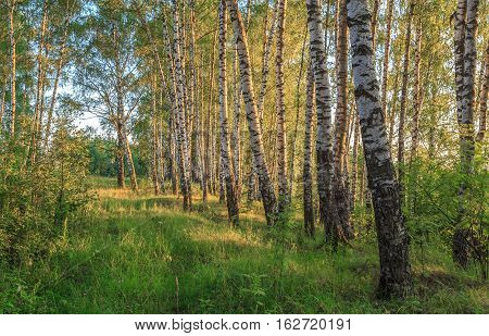 Birch Alley In The Rays Of The Evening Sun