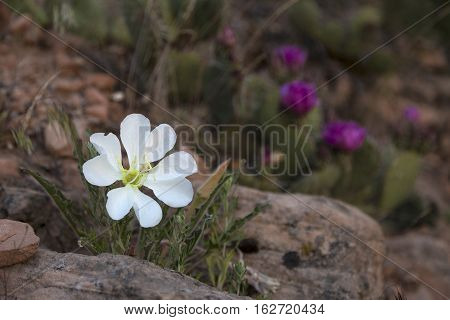 Desert primrose photographed early in the morning just as it blooms.