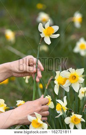 hands of gardener picking narcissus flower in the garden