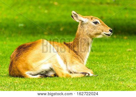 The Antelope. Beautiful female lechwe. Kobus leche
