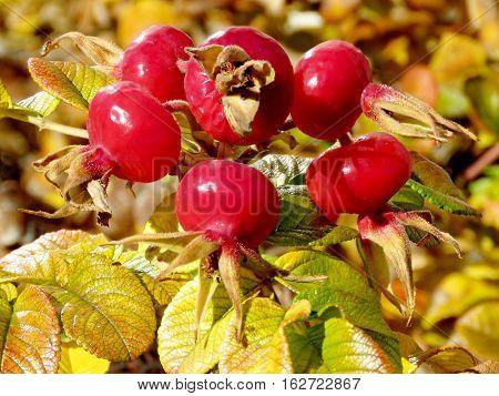 Autumn rosehip in Thornhill Canada November 17 2016