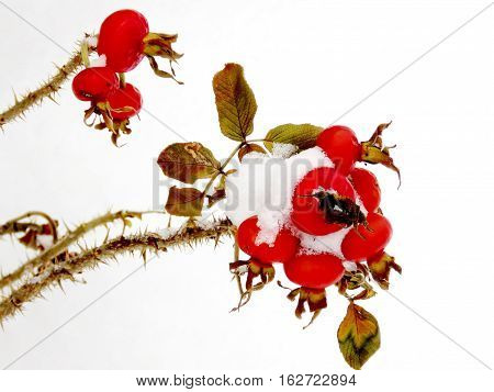 Winter rosehip in Thornhill Canada December 17 2016