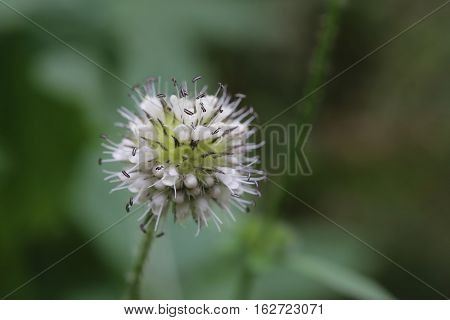 Inflorescence Of A Dipsacus Pilosus (small Teasel) Plant