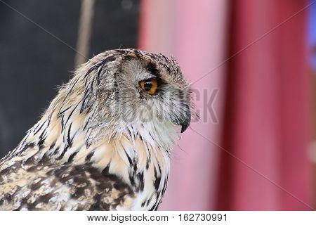 Portrait Of Western Siberian Eagle-owl (bubo Bubo Sibiricus)