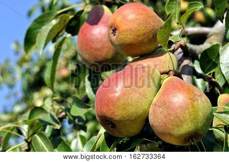 ripe pears on a tree in the orchard