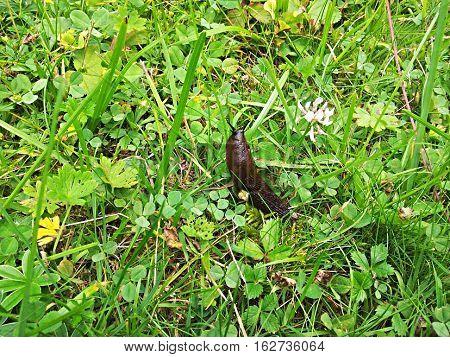 Slug on grass, animal living in nature