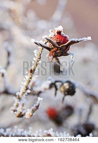 close photo of frozen sear fruit of common medlar in winter