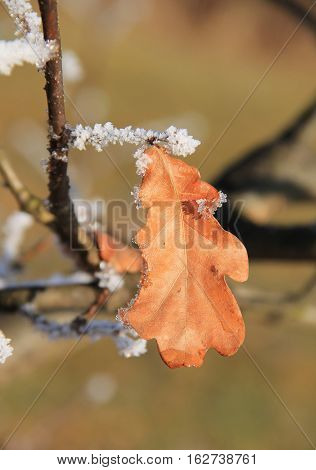 close photo of a sear leaf of oak tree with some hoarfrost on the twigs