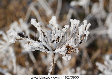 close photo of ground elder covered with hoarfrost and snow in winter