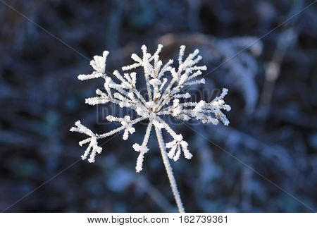 close photo of ground elder covered with hoarfrost and snow in winter in contrast with dark background