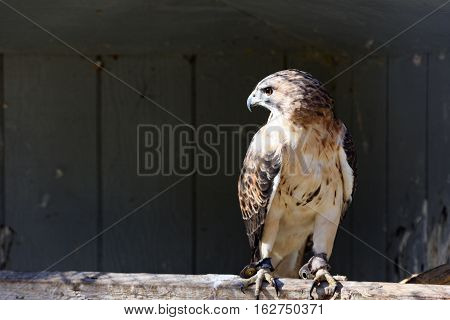 A male Red-tailed hawk in captivity perched on a beam in an enclosure