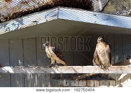 Two captive Red-tailed hawks perched on a beam.
