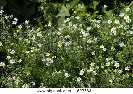 Flowering Chamomile In The Garden. Medicinal Chamomile