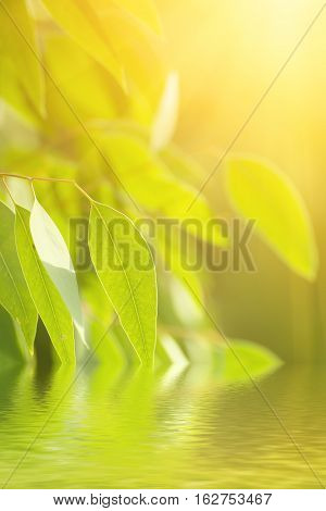 Eucalyptus sunny green leaves abstract background with water reflection and copy space